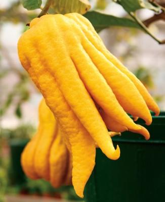 Nuvo Magazine: The Splendid Citron