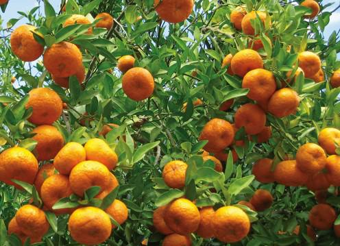 NUVO Magazine: Oranges